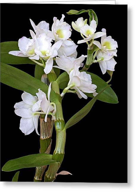 Dendrobium Nobile Orchid Greeting Card by Dr. Nick Kurzenko