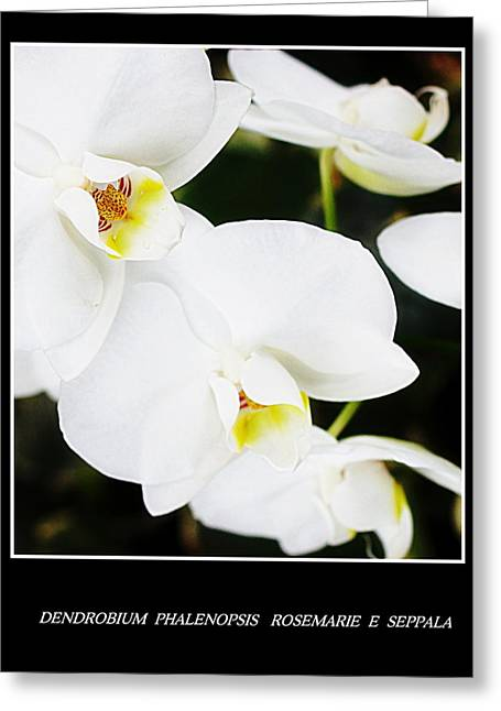 Phalenopsis Greeting Cards - Dendrobium Phalenopsis White Orchids  Greeting Card by Rosemarie E Seppala