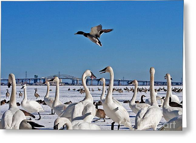 Flying Mute Swan Greeting Cards - Deploy Landing Gear Greeting Card by Barbara McMahon