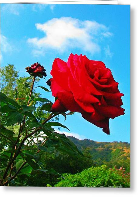 First-rate Greeting Cards - Descanso Rose  Greeting Card by Anne Sterling