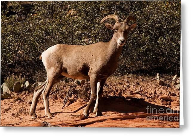 Geobob Greeting Cards - Desert Bighorn Sheep in Zion National Park near  Checkerboard Mesa Utah Greeting Card by Robert Ford