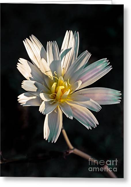 Haybales Greeting Cards - Desert Chicory Greeting Card by Robert Bales
