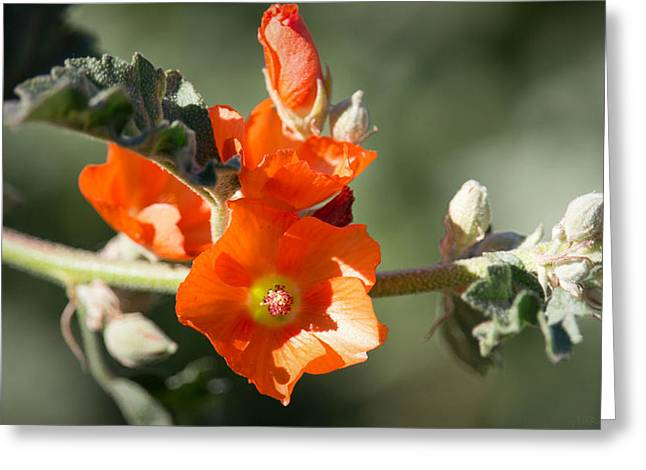 Sphaeralcea Greeting Cards - Desert Globe Mallows Greeting Card by Aaron Burrows