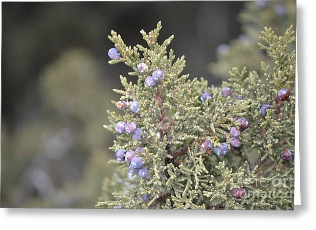 Berries Framed Prints Greeting Cards - Desert Juniper Greeting Card by Andrea Hazel Ihlefeld