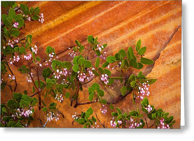Desert Manzanita Greeting Card by Inge Johnsson