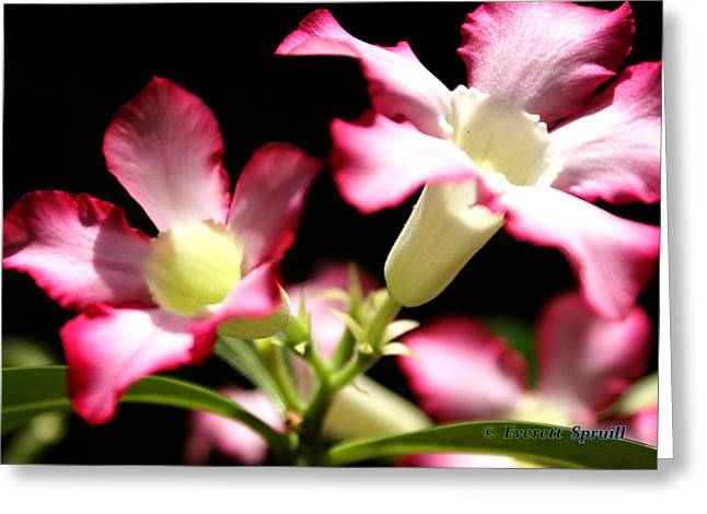 African-americans Greeting Cards - Desert Rose 2 Greeting Card by Everett Spruill