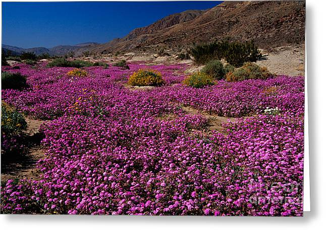 Nyctaginaceae Greeting Cards - Desert Sand Verbena Greeting Card by Richard and Ellen Thane