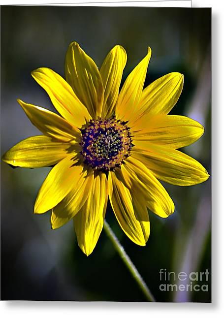 Aster Greeting Cards - Desert Sunflower Greeting Card by Robert Bales