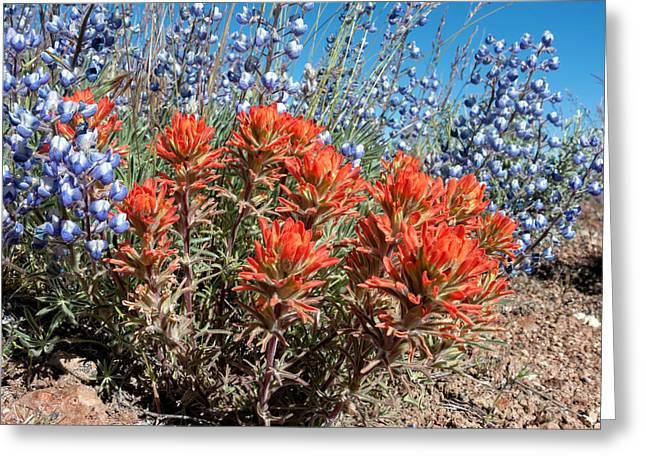 Washoe County Greeting Cards - Desert Wildflowers Greeting Card by Kathleen Bishop