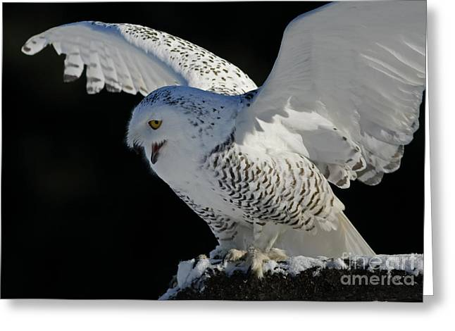 Destiny's Journey - Snowy Owl Greeting Card by Inspired Nature Photography Fine Art Photography