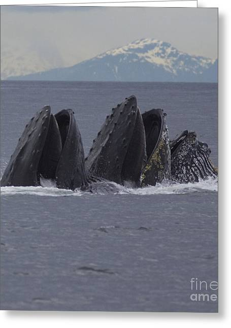 Detail Of Humpback Whales Feeding Greeting Card by Tim Grams