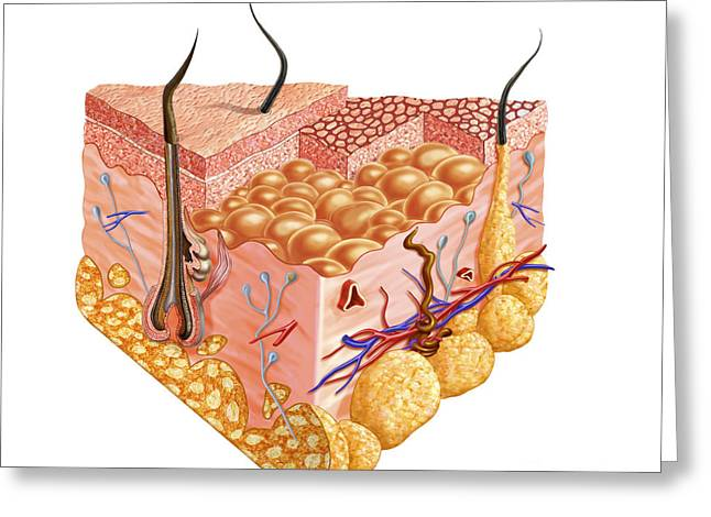 Sweat Digital Art Greeting Cards - Detailed Cutaway Diagram Of Human Skin Greeting Card by Leonello Calvetti