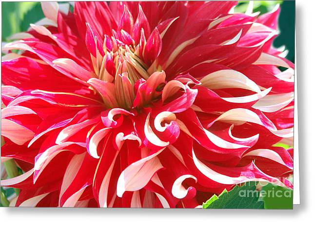 Dinnerplate Dahlias Greeting Cards - Details of a Dinnerplate Dahlia Greeting Card by Debra Orlean