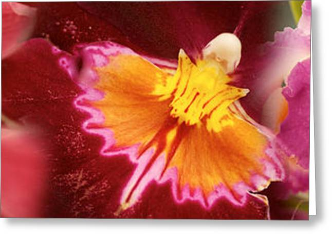 Stamen Greeting Cards - Details Of Red And Violet Orchid Flowers Greeting Card by Panoramic Images