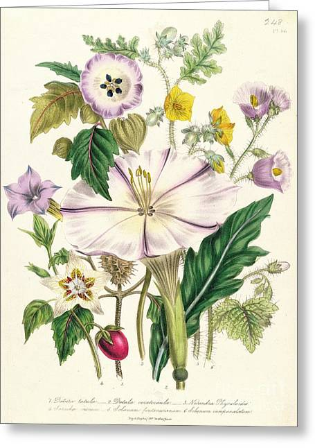 Datura Greeting Cards - Devils Trumpet Greeting Card by Jane Loudon