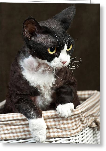 Gray Hair Greeting Cards - Devon Rex Greeting Card by Marta Holka