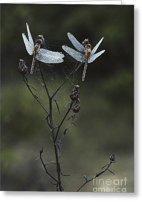 Meadowhawk Greeting Cards - Dew-covered Dragonflies Greeting Card by Larry West