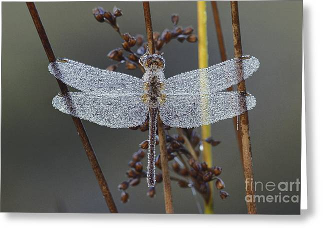 Meadowhawk Greeting Cards - Dew-covered Dragonfly Greeting Card by Larry West