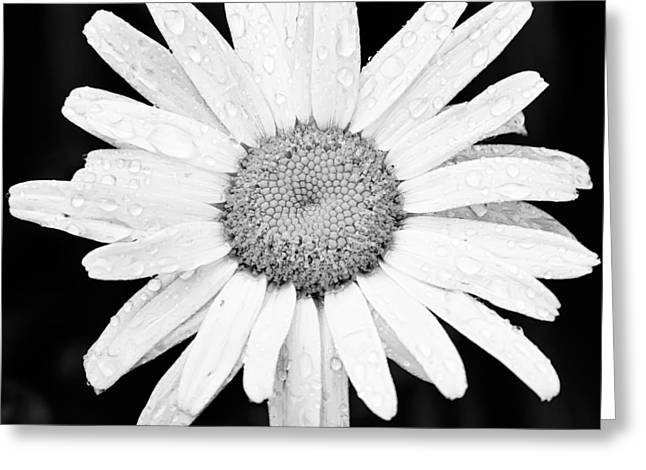 Monochrome Greeting Cards - Dew Drop Daisy Greeting Card by Adam Romanowicz