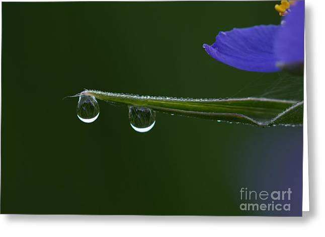 Blue Green Water Greeting Cards - Dew Drop Spiderwort Greeting Card by Joshua Whetstine
