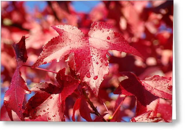 Red Leaves Greeting Cards - Dew Drops Raindrops Red Autumn Leaves prints Greeting Card by Baslee Troutman Fine Art Photography