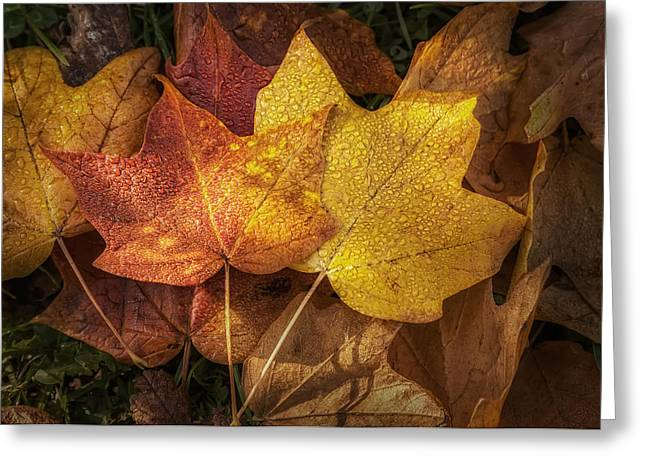 Drop Greeting Cards - Dew on Autumn Leaves Greeting Card by Scott Norris