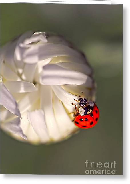Dewdrops Greeting Cards - Dewdrop Ladybug Greeting Card by Sharon  Talson