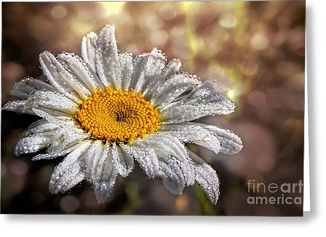 Dew Covered Flower Greeting Cards - Dewy Daisy Greeting Card by Sari Sauls