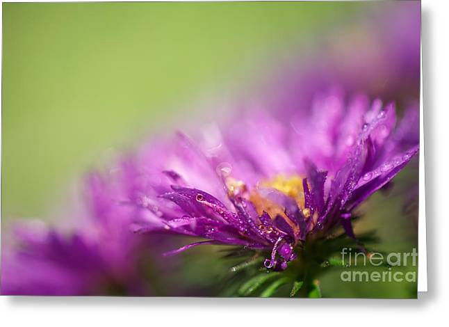 Aster Greeting Cards - Dewy Purple Asters Greeting Card by Lois Bryan
