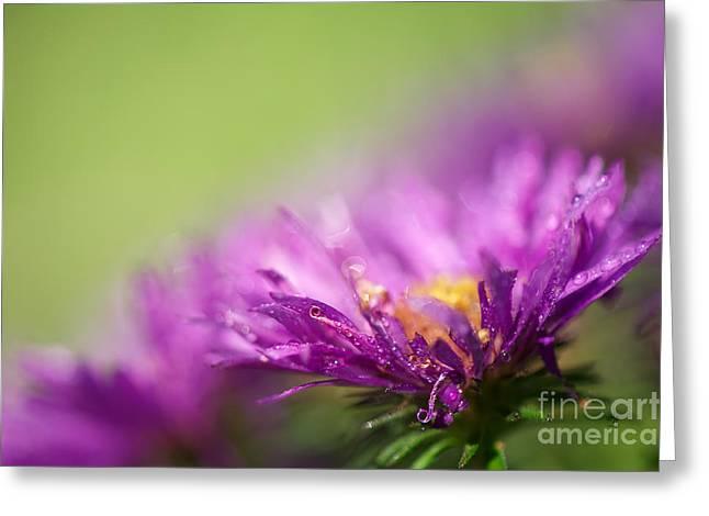 Dewy Purple Asters Greeting Card by Lois Bryan