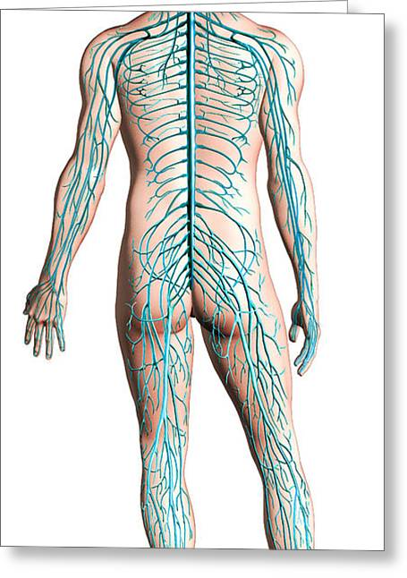 Sciatic Nerves Greeting Cards - Diagram Of Human Nervous System Greeting Card by Leonello Calvetti