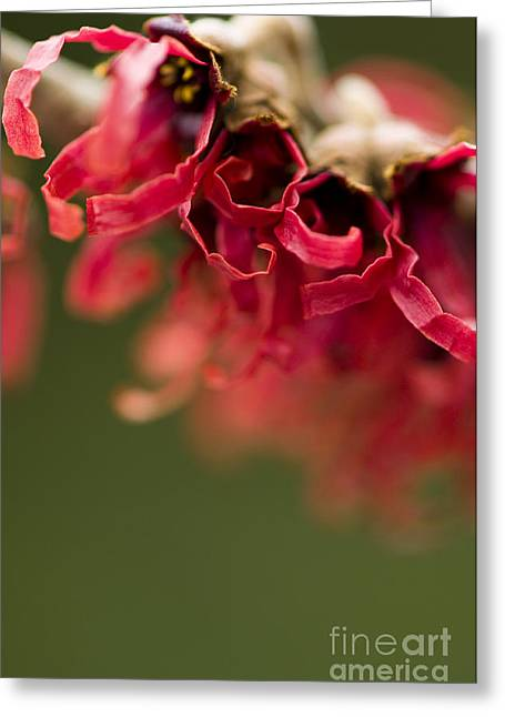 Close Focus Floral Greeting Cards - Diana the Hamamelis Greeting Card by Anne Gilbert