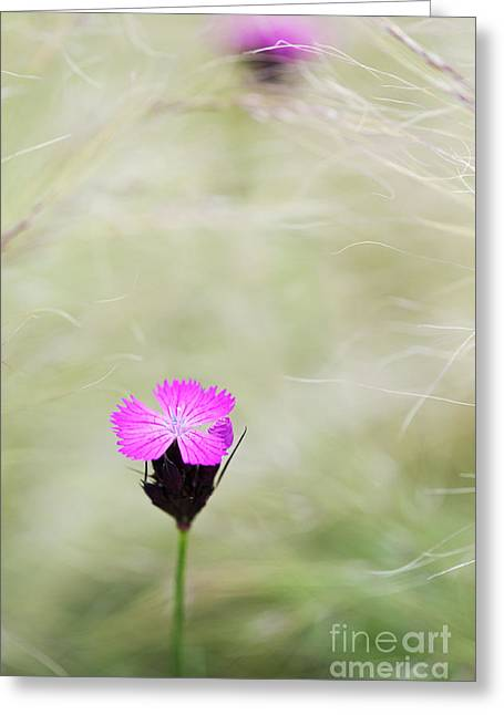 Ponytail Greeting Cards - Dianthus carthusianorum flowers in Stipa Grass Greeting Card by Tim Gainey