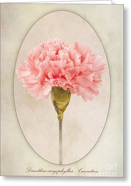 Stamen Greeting Cards - Dianthus caryophyllus Carnation Greeting Card by John Edwards