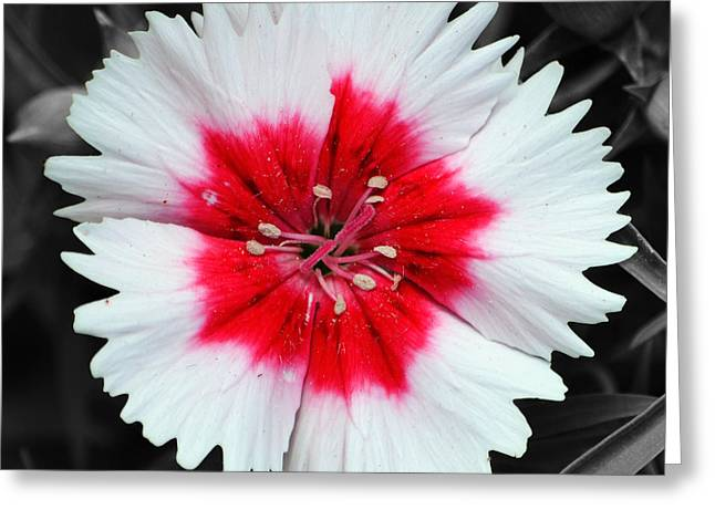 Texas Greeting Cards - Dianthus Red and White Flower Decor Macro Square Format Color Splash Black and White Greeting Card by Shawn O