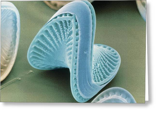Phytoplankton Greeting Cards - Diatom Algae, Campylodiscus Greeting Card by Power And Syred