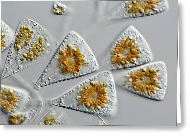 Diatoms Greeting Card by Frank Fox