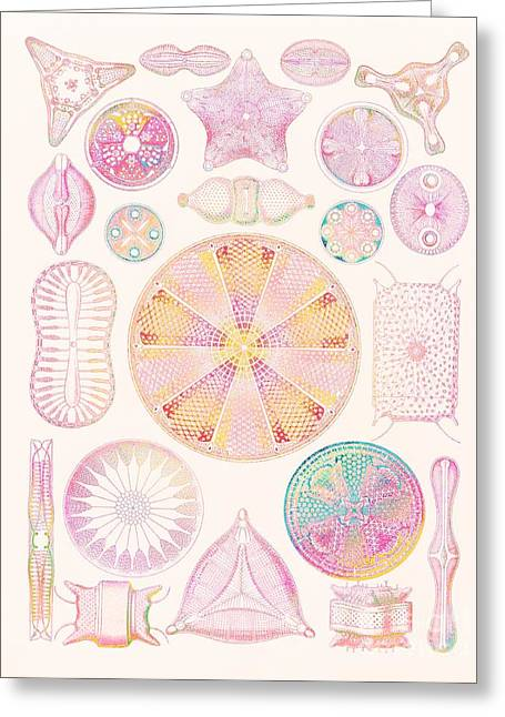 Diatoms Greeting Card by Mehau Kulyk