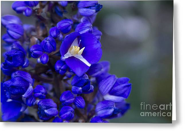 Tradescantia Greeting Cards - Dichorisandra thyrsiflora - Blue Ginger Greeting Card by Sharon Mau