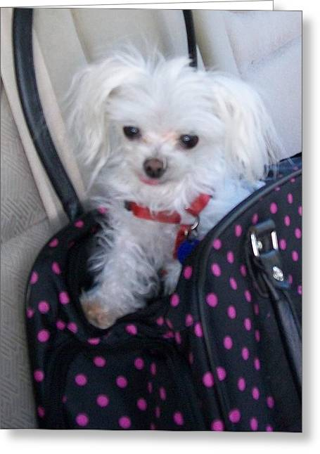 Toy Maltese Photographs Greeting Cards - Kiki is Ready to Go Greeting Card by Mountain Femme