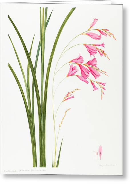Pink Blossoms Greeting Cards - Dierama pulcherrium Greeting Card by Sally Crosthwaite