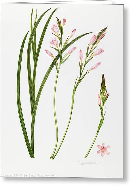 Pink Blossoms Greeting Cards - Dierama Greeting Card by Sally Crosthwaite