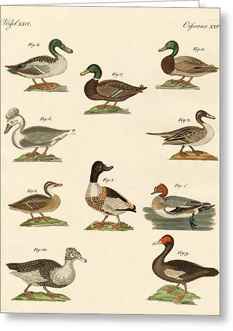 Different Kinds Of Ducks Greeting Card by Splendid Art Prints