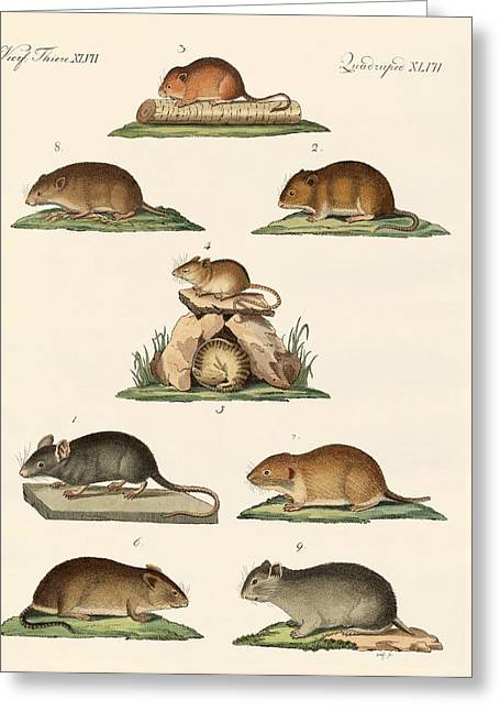 Hamster Drawings Greeting Cards - Different kinds of mice Greeting Card by Splendid Art Prints