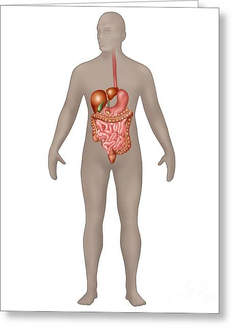 Gi Photographs Greeting Cards - Digestive System In Male Anatomy Greeting Card by Gwen Shockey