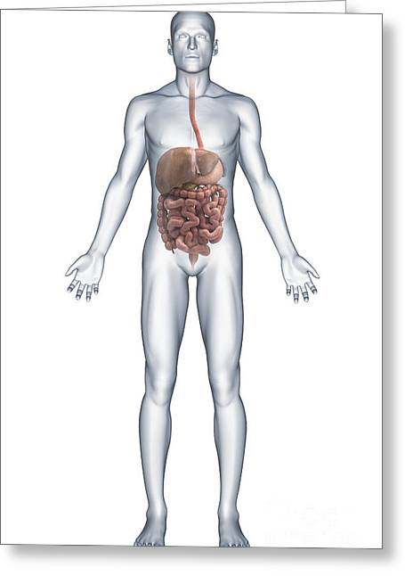 Full Body Greeting Cards - Digestive System Greeting Card by Science Picture Co