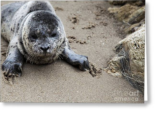 Sea Lions Greeting Cards - Digging in the Sand Greeting Card by David Millenheft