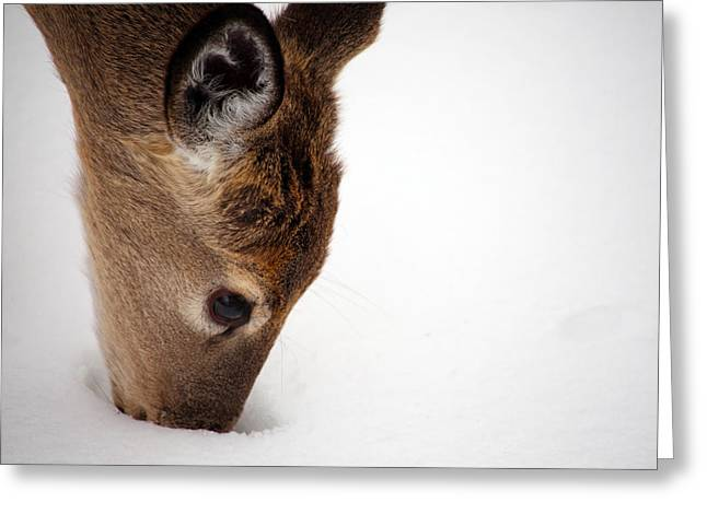 Deer In Snow Greeting Cards - Digging Greeting Card by Karol  Livote