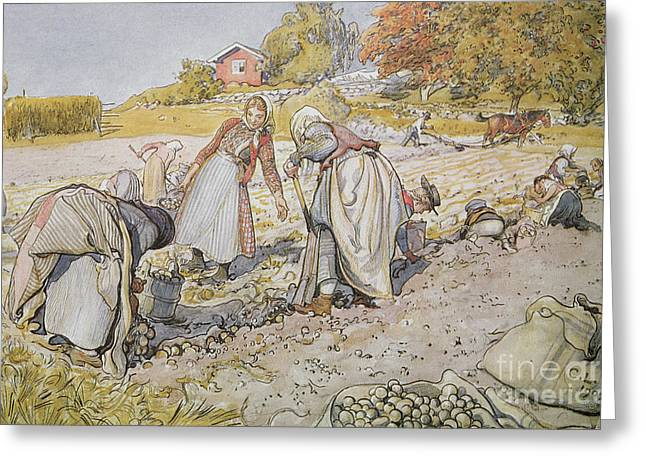 Harvest Art Greeting Cards - Digging Potatoes Greeting Card by Carl Larsson