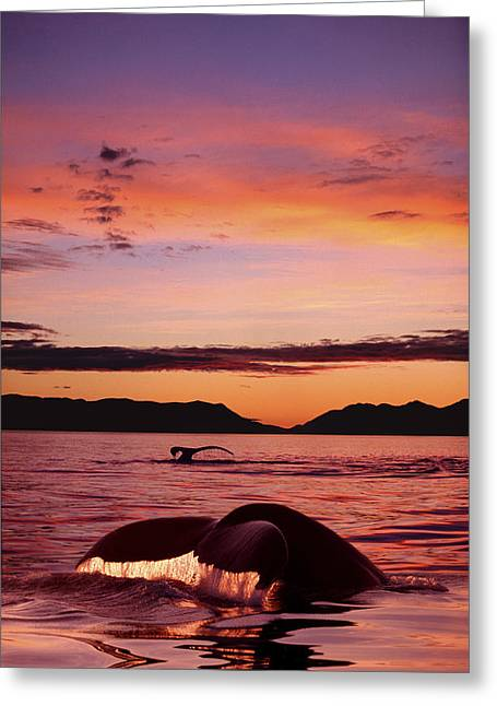 Chatham Greeting Cards - Digital Humpback Whale Tails  Sunset Se Greeting Card by John Hyde